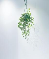 【観葉植物】ディスキディア シュガーエメラルディ  ミニハンギングポット