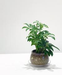 【観葉植物】ミニシェフレラ・コンパクタ