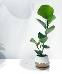 【観葉植物 】シーグレープ  / drop paint pot   white