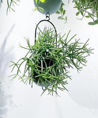 【観葉植物 】リプサリス ヘテロクラダ  / ハンギングポットS