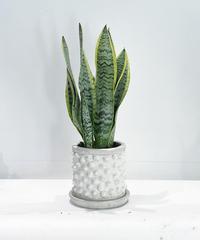 【観葉植物 】サンセベリア ローレンチ   / chonch antique pot  S white