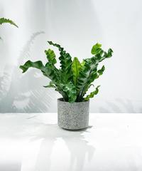【観葉植物 】アスプレニウム ブルーウェーブ  / stone skin pot gray