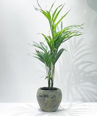 【観葉植物 】アレカヤシ / ancient pot round