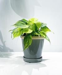 【観葉植物 】フィロデンドロン・ブラジル / posh gray pot