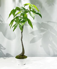 【観葉植物】一点もの パキラ盆栽