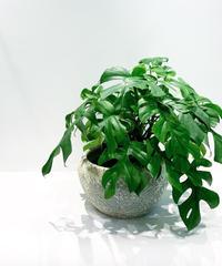 【観葉植物】ヒメモンステラ&アンシェントポット