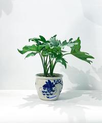 【観葉植物】ミニフィロデンドロン セローム ぶどう鉢