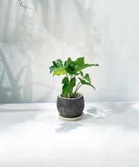 【観葉植物 】セローム ラインネイビーポット
