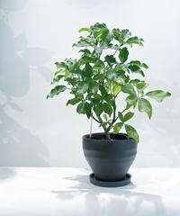 【観葉植物】シェフレラ グランディ / ジュネス濃青