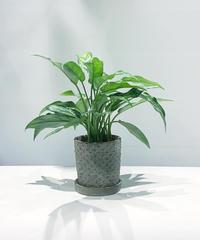 【観葉植物】アグラオネマ マリア   / dot pot