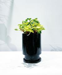 【観葉植物】ペペロミア グラベラglaze tall pot black