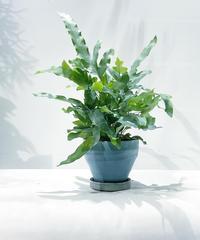 【観葉植物 】プレポディウム オーレウム  ブルー /   ジュネス水色