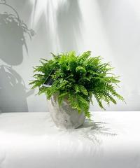 【観葉植物】ツデー/ cut pot L