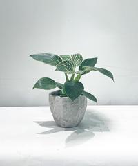 """【観葉植物】フィロデンドロン""""バーキン"""" / cut pot"""
