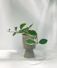 【観葉植物 】ホヤ カルノーサ バリエガータ / テルエス