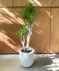 【観葉植物】コンシンネ/  barnacle U pot φ20