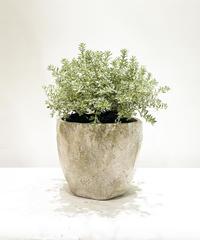 【庭・ベランダ】ウエストリンギア スモーキーホワイト /  cut pot