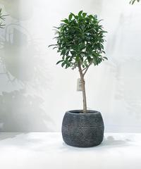 【観葉植物 】フィカス ナナ  スタンダード仕立て  / traditional circle pot
