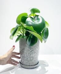 【観葉植物】ペペロミアジェイド / baruna  purple gray