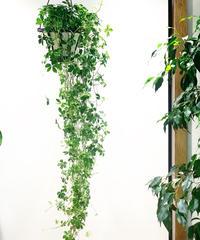 【観葉植物 】シュガーバイン ボリュームたっぷり&ロングの吊り鉢!
