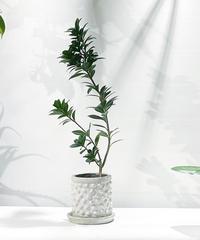 【観葉植物 】ロング ガジュマル   / chonch antique pot  S white