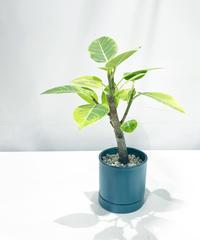 【観葉植物 】フィカス アルテシマ  /   slyinder mat pot  S  green