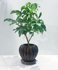 【観葉植物】シェフレラ グランディ / FIG POT