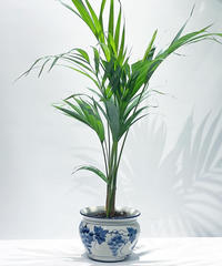 【観葉植物 】アレカヤシ / ぶどう鉢