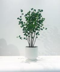 【観葉植物】ベンジャミン バロック / white  mat pot