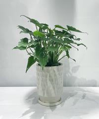 【観葉植物 】  セローム   /  unglazed cut pot tall