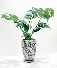 【観葉植物】モンステラ デリシオサ mix color pot  WHITE