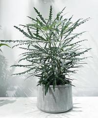 【観葉植物 】アラレア / cement low pot φ20