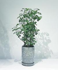 【観葉植物 】ポリシャス / baruna  paerl blue