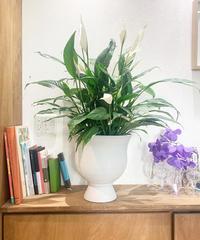 【観葉植物】スパティフィラム / cup white pot