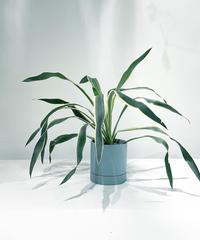 【観葉植物 】ユッカ  グロリオサ バリエガータ / slylinder mat pot green