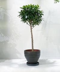 【観葉植物 】フィカス ナナ  スタンダード仕立て  / ジュネス濃青