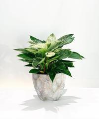 """【観葉植物】フィロデンドロン""""バーキン""""/ cut pot"""