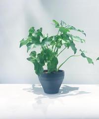 【観葉植物】フィロデンドロンセローム ジュネスポット
