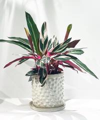【観葉植物】ストロマンテ マルチカラー   / conch antique white pot φ20
