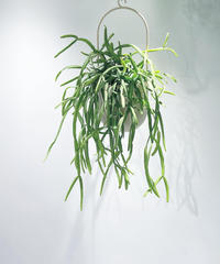 【観葉植物 】リプサリス キルベルギー  / ハンギングポットS