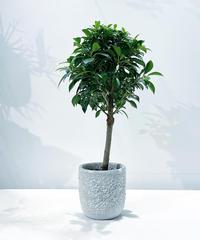 【観葉植物】フィカス ナナ スタンダード仕立て / barnacle U pot white φ13