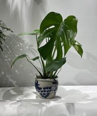 【観葉植物 】モンステラ / ブドウ鉢