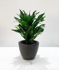 【観葉植物】ドラセナ・コンパクタ
