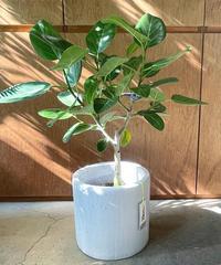 【観葉植物】ベンガレンシス  / white cement pot φ24