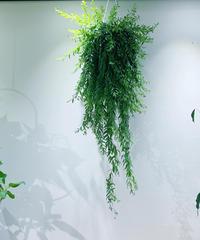【観葉植物 】ボリュームのある エスキナンサス  ロング