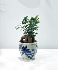 【観葉植物 】ガジュマル  /  ぶどう鉢