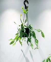 【観葉植物 】リプサリス  エリプティカ