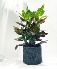 【観葉植物 】クロトン / traditional sylinder pot