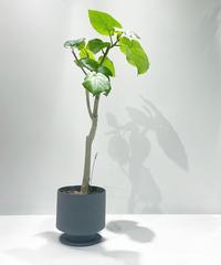 【観葉植物 】ウンベラータ / hanase  pot gray