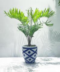 【観葉植物】ザミアフロリダーナ / イリニア鉢